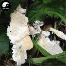White Tine Bacteria 100g Chinese Medicinal Mushroom Bai Ba Chi Jun