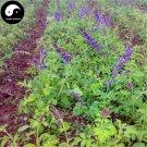 Buy Salvia Miltiorrhiza Seeds 400pcs Plant Chinese Herb Danshen For Dan Shen