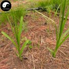 Buy Rhizoma Anemarrhenae Seeds 400pcs Plant Chinese Herb Zhi Mu For Anemarrhena