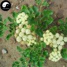 Buy Coastal Glehnia Seeds 200pcs Plant Herb Glehniae Radix For Bei Sha Shen