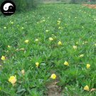 Buy Herb Oenothera Biennis Seeds 400pcs Plant Evening Primrose For Yue Jian Cao