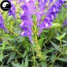 Buy Herb Baical Skullcap Seeds 400pcs Plant Radix Scutellariae For Huang Qin