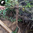 Buy Herb Baical Skullcap Seeds 100pcs Plant Radix Scutellariae For Huang Qin