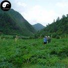 Buy Chinese Rhubarb Seeds 400pcs Plant Herb Rhubarb For Da Huang
