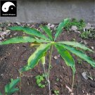 Buy Chinese Araceae Seeds 200pcs Plant Arisaema Heterophyllum For Tian Nan Xing