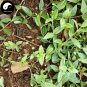 Buy Psammosilene Tunicoides Herb Seeds 240pcs Plant Jin Tie Suo For Du Ding Zi