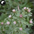 Buy Atractylodes Chinensis Herb Seeds 400pcs Plant Atractylodes For Bei Cang Zu