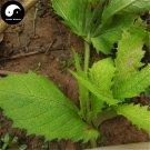Buy Herb Dipsacus Seeds 100pcs Plant Dipsacus Asperoides For Chuan Xu Duan