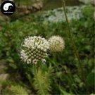 Buy Herb Dipsacus Seeds 200pcs Plant Dipsacus Asperoides For Chuan Xu Duan