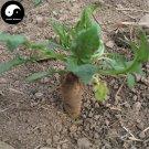 Buy Herb Dipsacus Seeds 400pcs Plant Dipsacus Asperoides For Chuan Xu Duan