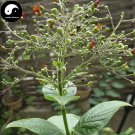 Buy Herb Scrophularia Seeds 240pcs Plant Chinese Figwort Root For Xuan Shen