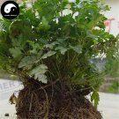 Buy Herb Coptis Chinensis Seeds 400pcs Plant Coptis For Huang Lian