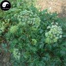 Buy Herb Hogfennel Seeds 400pcs Plant Peucedanum Praeruptorum For Qian Hu