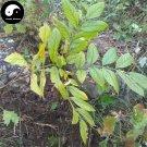 Buy CORTEX DICTAMNI Seeds 30pcs Plant Densefruit Pittany For Bai Xian Pi