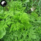 Buy Ligusticum Sinense Seeds 200pcs Plant RHIZOMA LIGUSTICI For Gao Ben