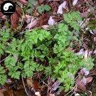Buy Ligusticum Sinense Seeds 100pcs Plant RHIZOMA LIGUSTICI For Gao Ben