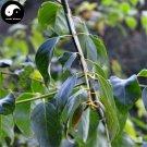 Buy Uncaria Rhynchophylla Seeds 80pcs Plant Ramulus Uncariae For Gou Teng