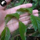 Buy Uncaria Rhynchophylla Seeds 40pcs Plant Ramulus Uncariae For Gou Teng