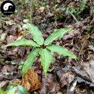 Buy Rhizoma Paridis Seeds 6pcs Plant Chinese Paris Rhizome For Yunnan Chong Lou