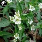 Buy Radix Pseudostellariae Seeds 240pcs Plant Heterophylly Falsestarwort For Tai Zi Shen