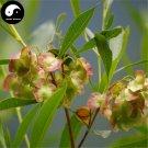 Buy Dodonaeae Viscosae Seeds 120pcs Plant Clammy Hopseedbush For Che Sang Zi