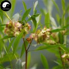 Buy Dodonaeae Viscosae Seeds 60pcs Plant Clammy Hopseedbush For Che Sang Zi