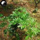 Buy Millettia Specisoa Seeds 60pcs Plant Millettia Specisoa Champ For Niu Da Li