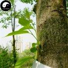 Buy Eucommia Ulmoides Seeds 120pcs Plant Eucommiae Gutta Tree For Du Zhong