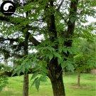 Buy Phellodendri Seeds 200pcs Plant Phellodendron Amurense For Huang Bai