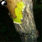 Buy Phellodendri Seeds 100pcs Plant Phellodendron Amurense For Huang Bai