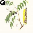 Buy Phellodendri Seeds 50pcs Plant Phellodendron Amurense For Huang Bai