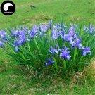 Buy Herba Kalimeridis Seeds 200pcs Plant Indian Kalimeris Herb For Ma Lan