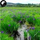Buy Herba Kalimeridis Seeds 400pcs Plant Indian Kalimeris Herb For Ma Lan