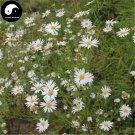 Buy Herb Kalimeris Seeds 400pcs Plant Kalimeris Lautureana For Shan Ma Lan