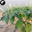 Buy Herb Datura Hindu Seeds 400pcs Plant Datura Stramonium For Man Tuo Luo