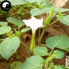 Buy Herb Datura Hindu Seeds 200pcs Plant Datura Stramonium For Man Tuo Luo