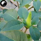 Buy Herb Datura Hindu Seeds 100pcs Plant Datura Stramonium For Man Tuo Luo