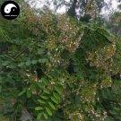 Buy Sophora Davidii Seeds 240pcs Plant Sophora Viciifolia Tree For Bai Ci Hua