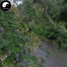 Buy Sophora Davidii Seeds 120pcs Plant Sophora Viciifolia Tree For Bai Ci Hua