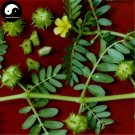 Buy Tribulus Terrestris Seed 200pcs Plant Herba Tribuli For Bai Ji Li