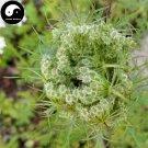 Buy Cnidium Monnieri Seed 200pcs Plant Fructus Cnidii For She Chuang Zi