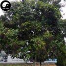 Buy Ligustrum Lucidum Seeds 400pcs Plant Glossy Privet Tree For Nv Zhen