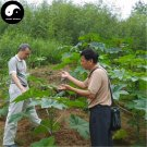 Buy Chinese Castor Seeds 100pcs Plant Ricinus Communis For Ricini Bi Ma