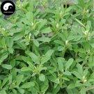 Buy Common Fenugreek Seeds 400pcs Plant Chinese Trigonellae Herb For Hu Lu Ba