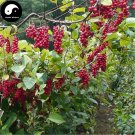 Buy Schisandra Chinensis Seeds 400pcs Plant Schisandra Berry Tree For Wu Wei Zi