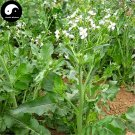 Buy Herb Radish Seeds 400pcs Plant Raphanus Sativus For Lai Fu Zi