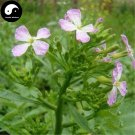 Buy Herb Radish Seeds 200pcs Plant Raphanus Sativus For Lai Fu Zi