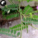 Buy Astragali Complanati Seeds 100pcs Plant Flastem Milkvetch For Sha Yuan Zi