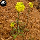 Buy Draba Nemorosa Seeds 400pcs Plant SEMEN LEPIDII For DESCURAINIAE Ting Li