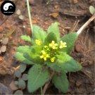 Buy Draba Nemorosa Seeds 100pcs Plant SEMEN LEPIDII For DESCURAINIAE Ting Li
